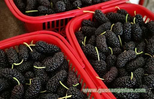 果叶两用无籽桑树新品种-粤桑10号,无籽大10