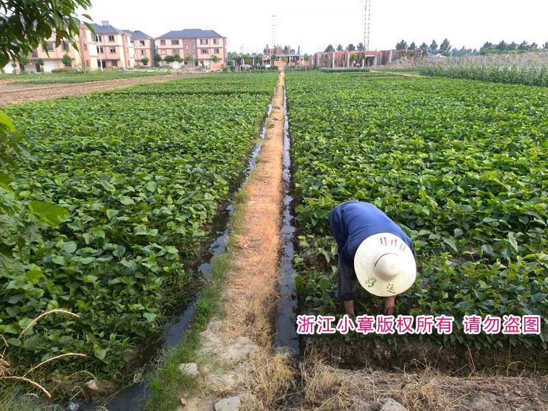 无籽大十果桑苗最佳种植时间,桑葚苗什么时候种最好